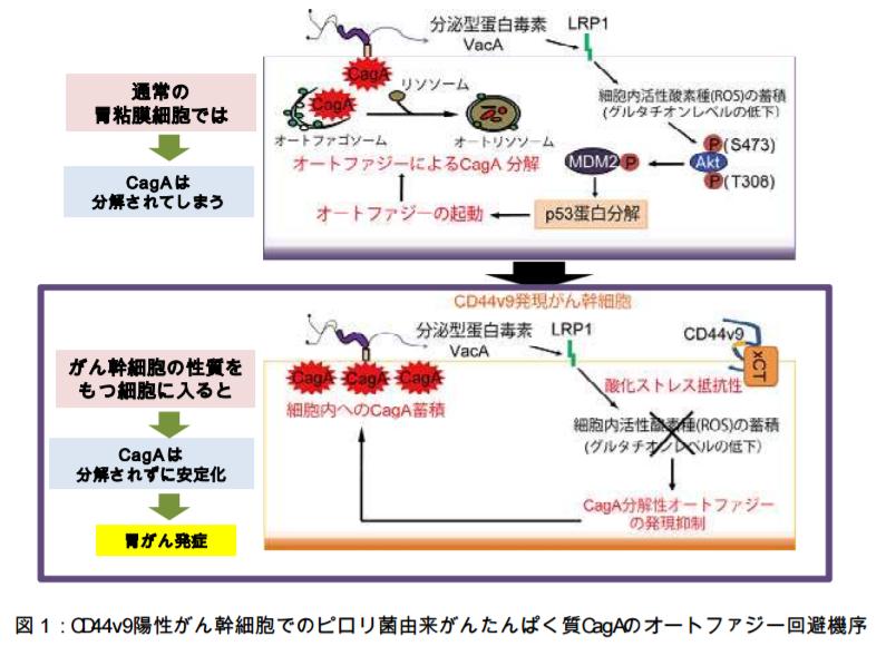 CD44v9陽性がん幹細胞でのピロリ菌由来がんたんぱく質CagAのオートファジー回避機序