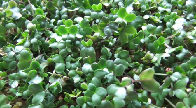 ブロッコリースプラウトは花粉症に効果的な食べ物|#世界一受けたい授業