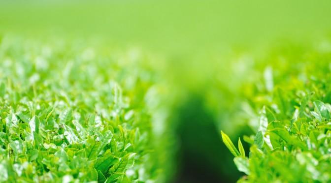緑茶に含まれるカテキンに歯周病予防効果の可能性|九州大学
