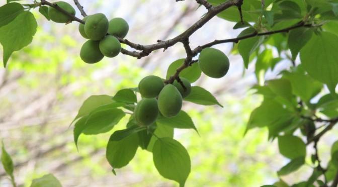 梅に疲労軽減効果|和歌山県が産学官の共同研究で実証
