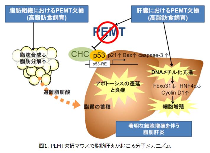 PEMT欠損マウスで脂肪肝炎が起こる分子メカニズム