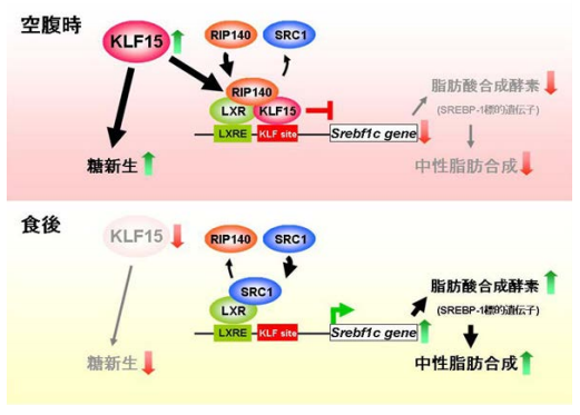 空腹時:肝臓でKLF15の発現が誘導される。KLF15はSREBP-1遺伝子プロモーター上でLXRと結合する。するとそこへさらに転写抑制因子RIP140が結合し、LXRの転写活性が抑制され、SREBP-1の発現がOFFになる。食後:KLF15の発現が低下し、RIP140がLXRから離れ、転写促進因子SRC1と置き換わることにより、SREBP-1の発現がONになる。SREBP-1はFAS(脂肪酸合成酵素)などの転写を行い、脂肪合成が開始される。