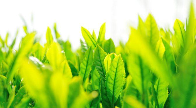 緑茶でがん予防・悪玉コレステロール値低下・便秘改善|ためしてガッテン(NHK)
