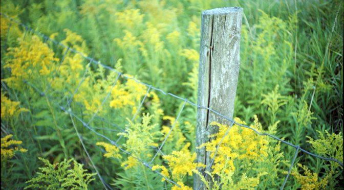 ヨーロッパではブタクサによる花粉症患者が今世紀半ばまでに倍増する予測が立てられている