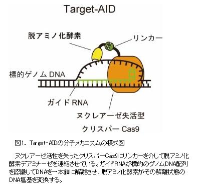DNAを切らずに書き換える新しいゲノム編集技術「Target-AID」の開発に成功|神戸大学