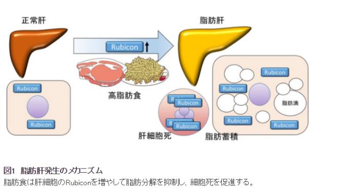 脂肪肝のメカニズム解明!オートファジー抑制因子ルビコンが肝臓内の脂肪蓄積と肝障害を引き起こす|大阪大