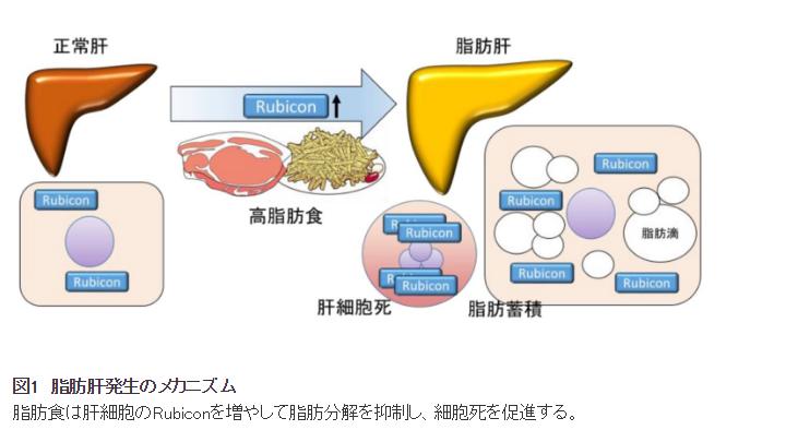 脂肪肝発生のメカニズム|脂肪食は幹細胞のRubiconを増やして脂肪分解を抑制し、細胞死を促進する