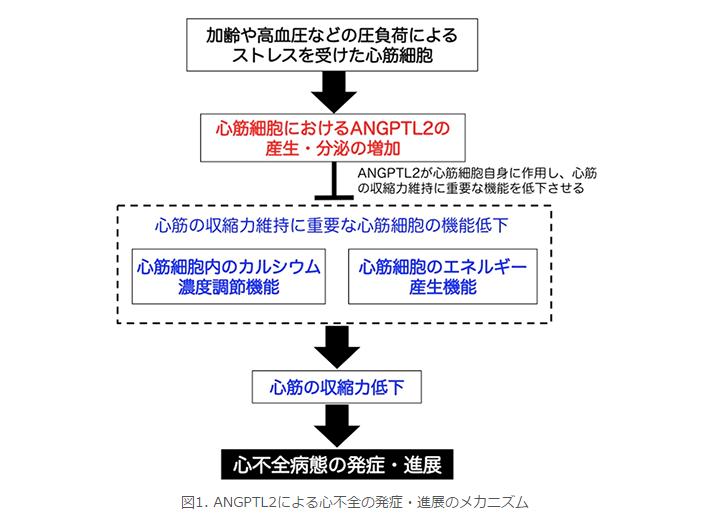 ANGPTL2による心不全の発症・進展のメカニズム
