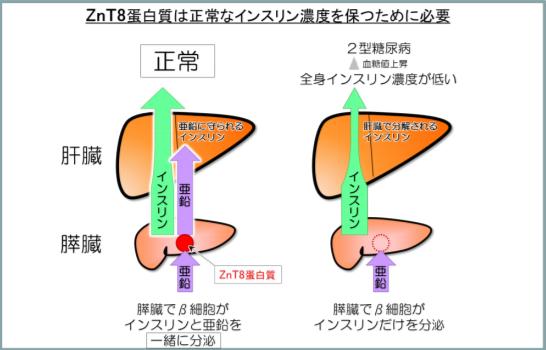 ZnT8たんぱく質は正常なインスリン濃度を保つために必要