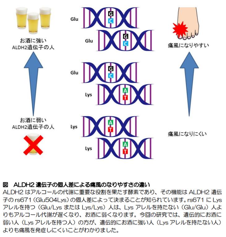 ALDH2遺伝子の個人差による痛風のなりやすさの違い