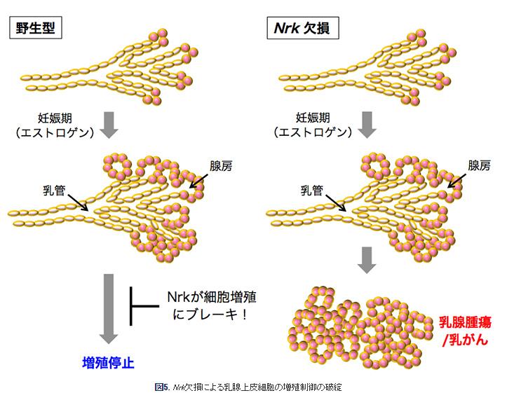 乳がんの発症を抑える遺伝子「Nrk」を発見