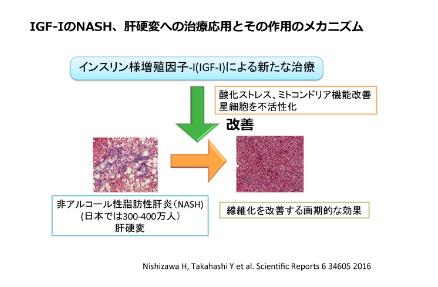 IGF-IのNASH、肝硬変への治療応用とその作用のメカニズム
