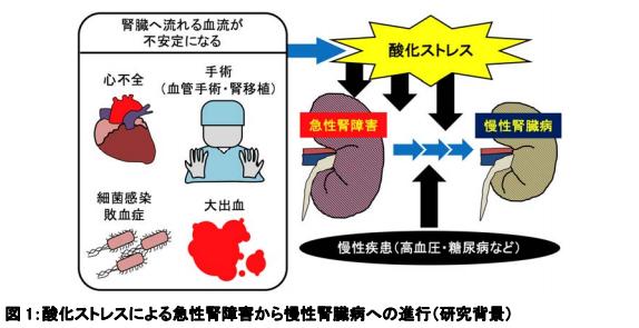 酸化ストレスによる急性腎障害から慢性腎臓病への進行