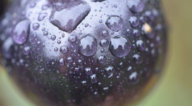 紫色(アントシアニン)のトマトで健康促進|英研究