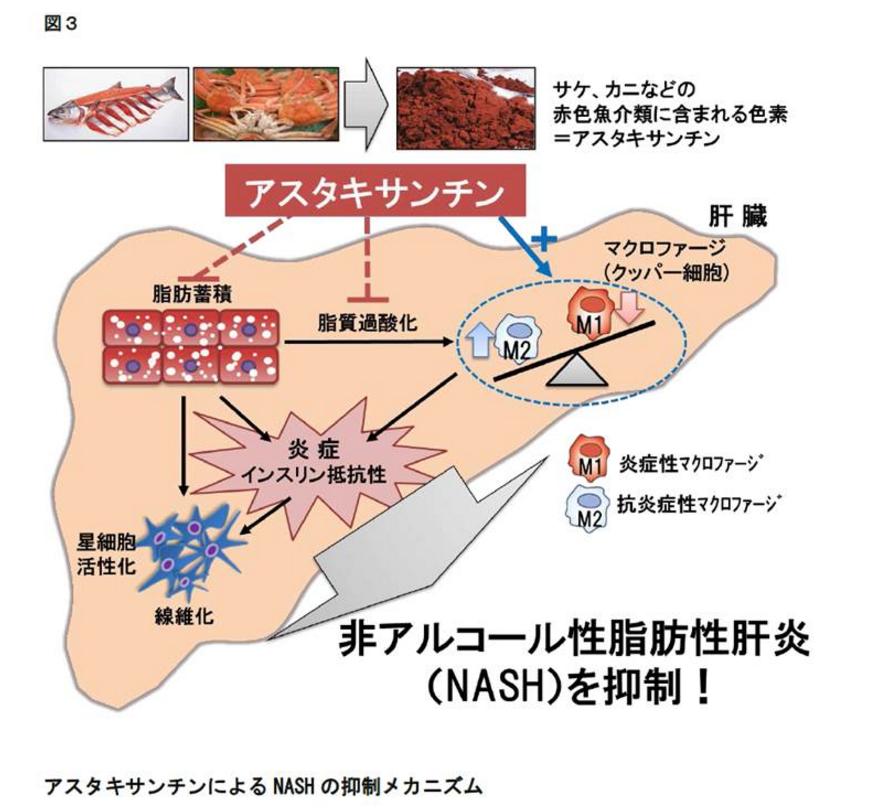 サケやカニ由来の赤い色素「アスタキサンチンによるNASH(非アルコール性脂肪性肝炎)の抑制メカニズム|金沢大学