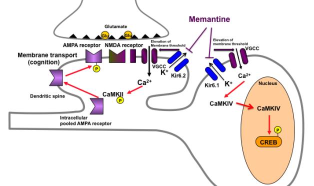 アルツハイマー病の「脳糖尿病仮説」の実証|「メマンチン」が脳インスリンシグナルを改善|東北大