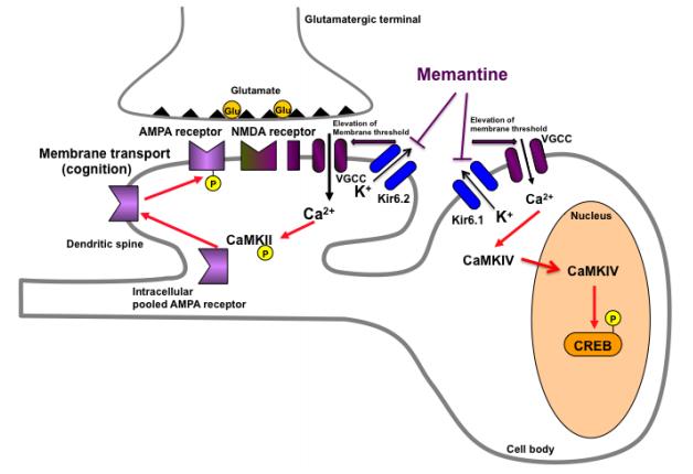 アルツハイマー病の「脳糖尿病仮説」の実証|「メマンチン」が脳インスリンシグナルを改善