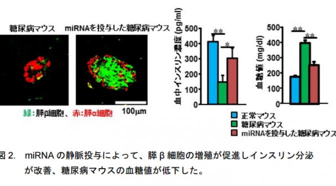 マイクロRNAの静脈投与による膵β細胞が増殖したことによってインスリン分泌が回復し、高血糖が改善|東北大