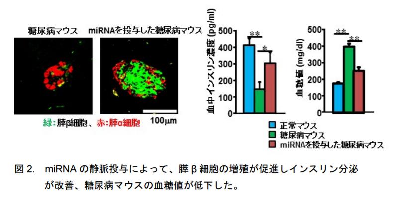 マイクロRNAの静脈投与によって、膵β細胞の増殖が促進しインスリン分泌が改善、糖尿病マウスの血糖値が低下した