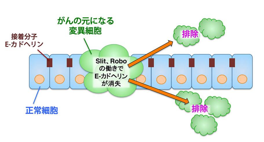 「Slit」と「Robo」が細胞間接着に関わるE-カドヘリンというタンパク質の働きを抑制することで変異細胞と正常細胞との接着性が低下し、変異細胞が組織からすり抜けるように排除される