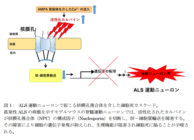 ALS運動ニューロンで起こる核膜孔複合体を介した細胞死カスケード