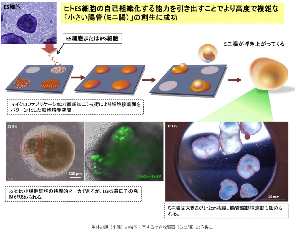ヒトES細胞の自己組織化する能力を引き出すことでより高度で複雑な「小さい腸管(ミニ腸)」の創生に成功