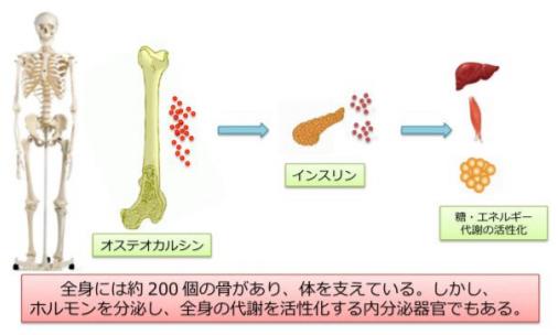 骨が全身の代謝を改善 オステオカルシンによるインスリン分泌の新しい経路を発見