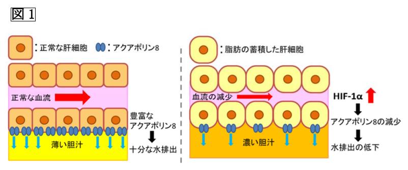正常な肝細胞と脂肪の蓄積した肝細胞