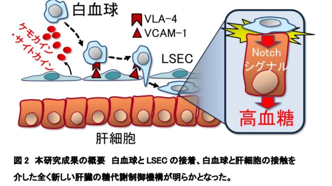 肝臓内の細胞間接着・接触が糖代謝異常を引き起こすメカニズムを発見|糖尿病の新しい治療ターゲットの可能性|東京医科歯科大学・九大