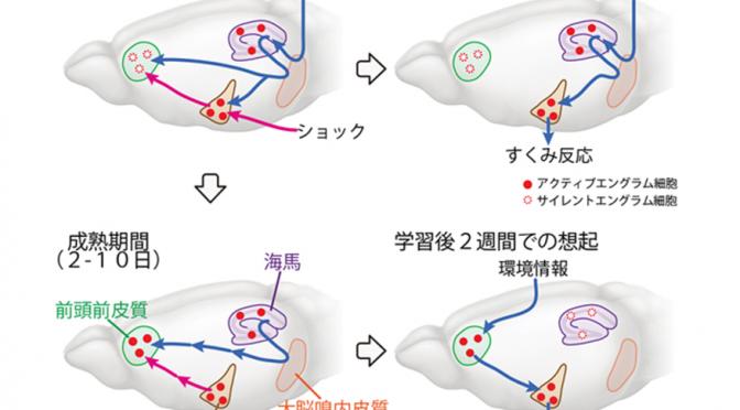 エピソード記憶の形成と想起には、海馬・前頭前皮質・扁桃体にできるエングラム細胞が「サイレント」→「アクティブ」または逆に移行するという仕組みによって起きている|理研