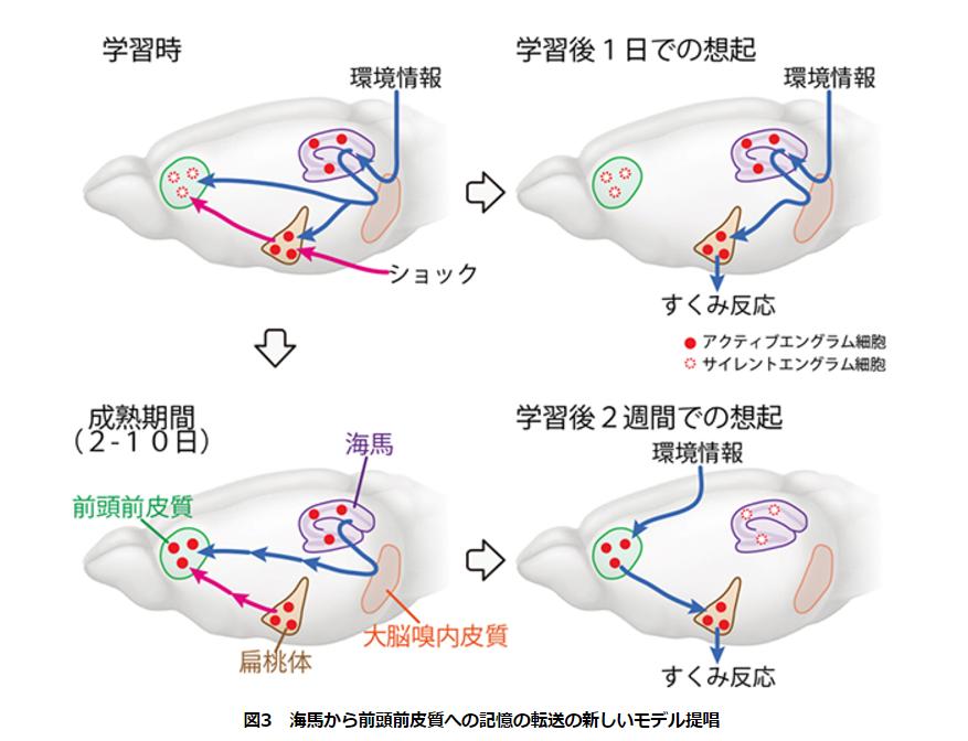海馬から前頭前皮質への記憶の転送の新しいモデル提唱