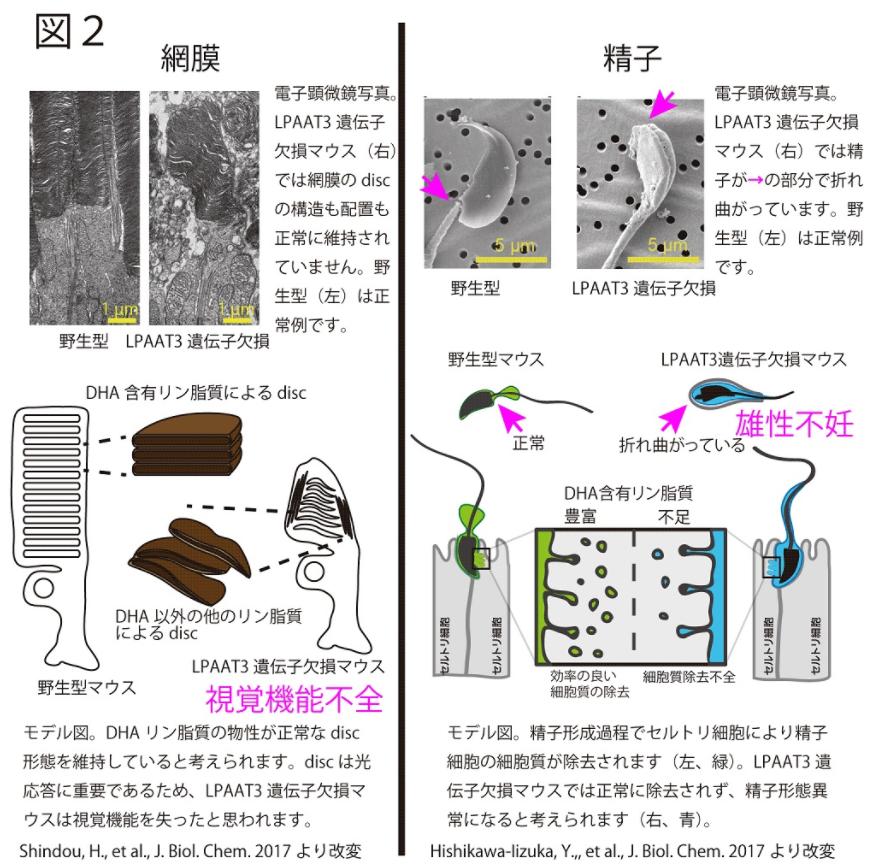 視覚と生殖機能に必須であるドコサヘキサエン酸(DHA) -失うと視覚と生殖の機能不全に-