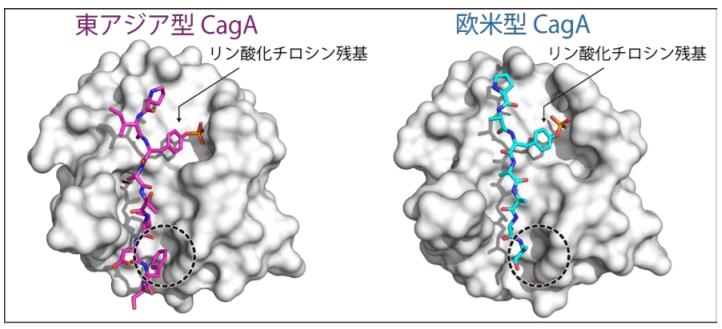 東アジア型CagAと欧米型CagA