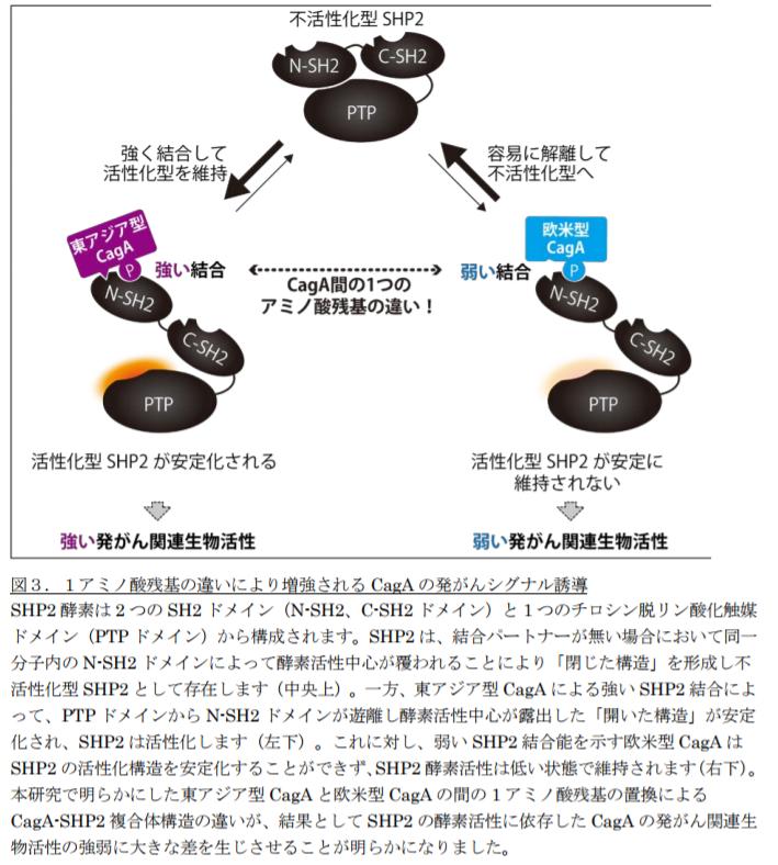 1アミノ酸残基の違いにより増強されるCagAの発がんシグナル誘導