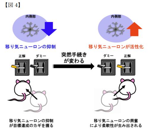 移り気ニューロンの抑制が目標達成のカギを握る。移り気ニューロンの興奮により柔軟性が生み出される。