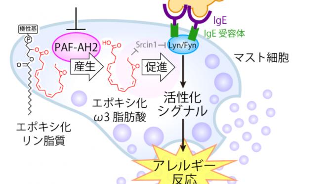 PAF-AH2ーエポキシ化オメガ3脂肪酸軸によるマスト細胞活性化制御機構