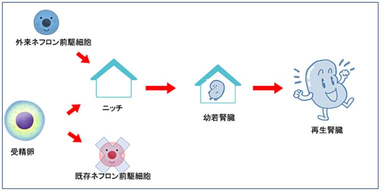 ネフロン前駆細胞から腎臓再生(尿を作る臓器を体内に作ること)に成功|東京慈恵会医科大学