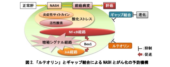 ルテオリンとギャップ結合によるNASHとがん化の予防機構
