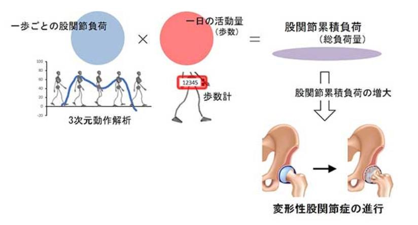 一歩ごとの股関節負荷×一日の活動量(歩数)=股関節累積負荷→股関節累積負荷の増大→変形性股関節症の進行