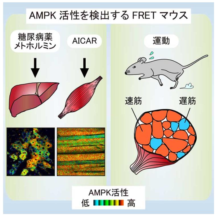 生きたマウス体内で糖尿病薬や運動によるAMPKの活性化を捉えることに成功|AMPK活性を生きた細胞内でリアルタイムに検出するため、AMPKのFRETバイオセンサーを発現する遺伝子改変マウスを開発|京都大学