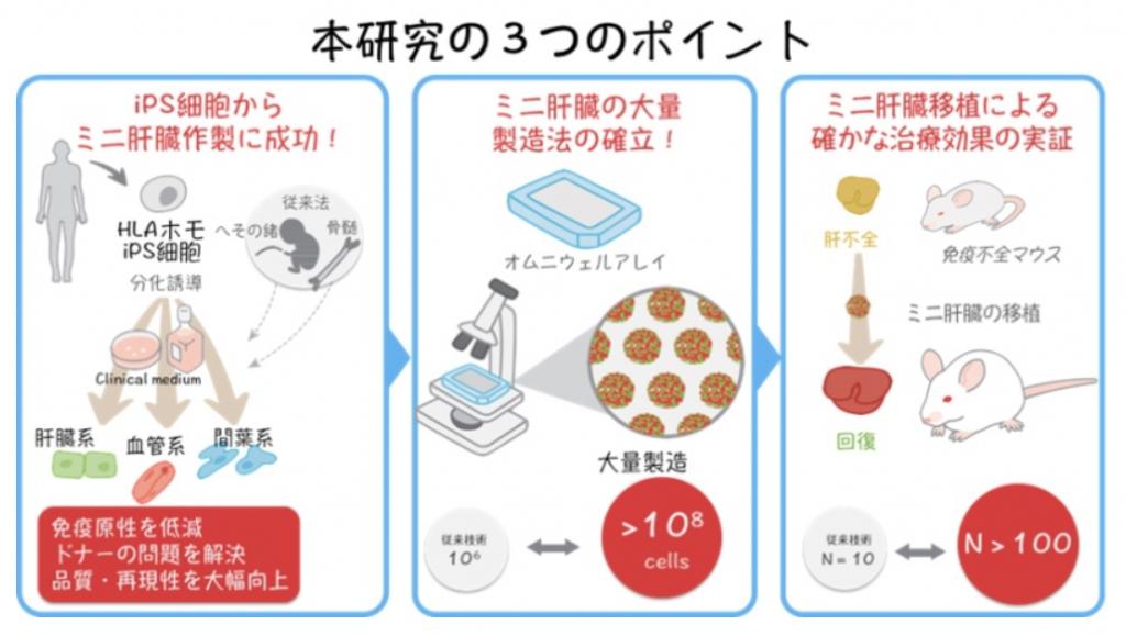 HLAホモドナーiPS細胞からミニ肝臓作製に必要な3種類の全ての細胞の作製に成功|横浜市立大学