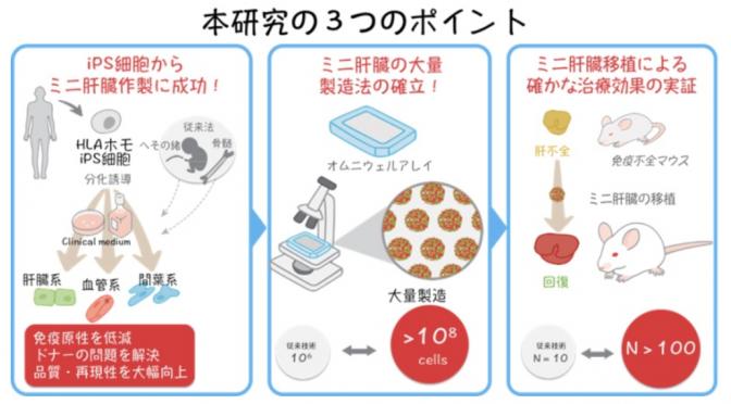 HLAホモドナーiPS細胞からミニ肝臓作製に必要な3種類の全ての細胞の作製に成功|#横浜市立大学
