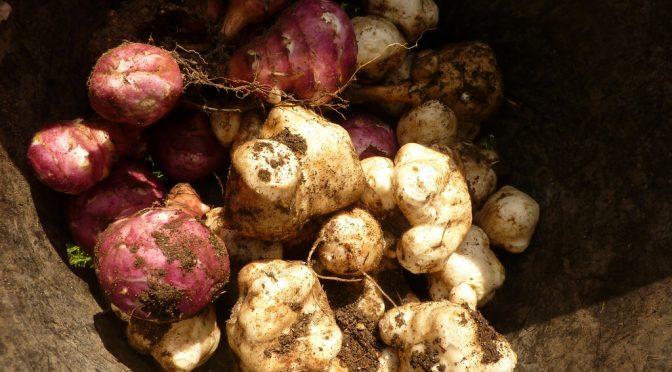 【たけしの家庭の医学】菊芋(キクイモ)が中性脂肪を減らす食材!イヌリンを含む野菜ランキングベスト5!