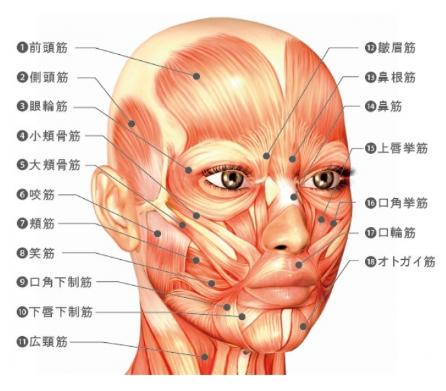 顔のたるみ予防・改善のため意識すべき筋肉(表情筋)