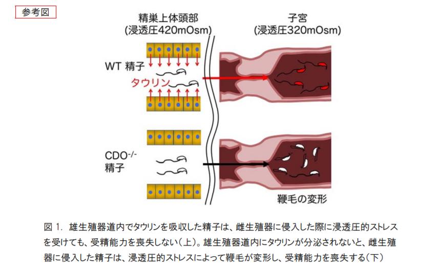 雄生殖器道内でタウリンを吸収した精子は、雌生殖器に侵入した際に浸透圧的ストレスを受けても、受精能力を喪失しない。雄生殖器道内にタウリンが分泌されないと、雌生殖器に侵入した精子は、浸透圧的ストレスによって鞭毛が変形し、受精能力を喪失する。