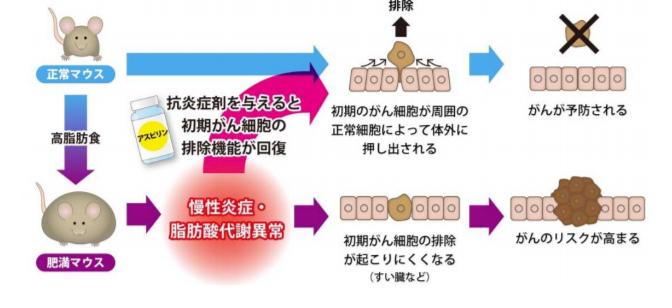 肥満が発がんを促進する原因の一端を解明|北海道大学