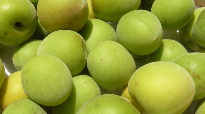 梅の育て方で大変なポイント|梅の実の収穫時期はいつ?【佐賀県有田町の梅農家の方にインタビュー】