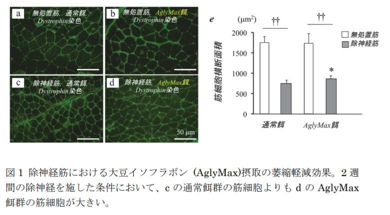 図 1 除神経筋における大豆イソフラボン (AglyMax)摂取の萎縮軽減効果。2 週 間の除神経を施した条件において、c の通常餌群の筋細胞よりも d の AglyMax 餌群の筋細胞が大きい。