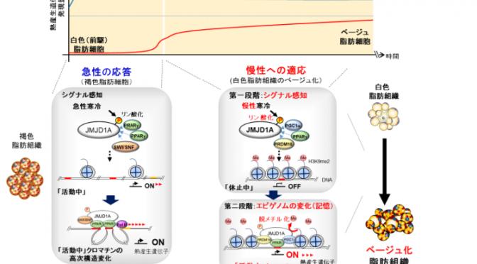 図:エピゲノム変化と細胞の質の変化がもたらす寒い環境への慢性的な適応のしくみ|東北大学