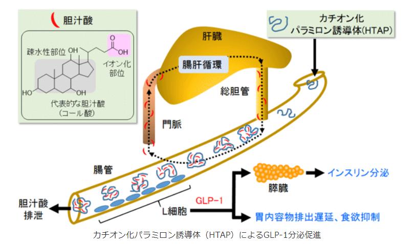 カチオン化パラミロン誘導体(HTAP)によるGLP-1分泌促進|産総研